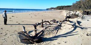 Banksia trees killed by risingn seas at Nambucca Heads Australia